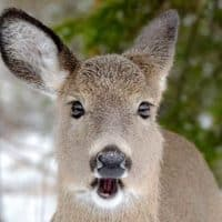 what do deer eat in the winter
